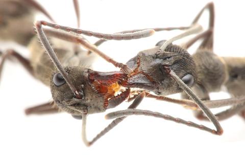 トゲオオハリアリの口移しによる栄養交換