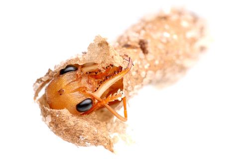 繭から出てくるブルドックアリ