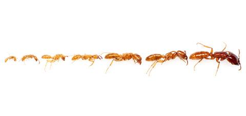 モトサスライアリ Dorylus laevigatus