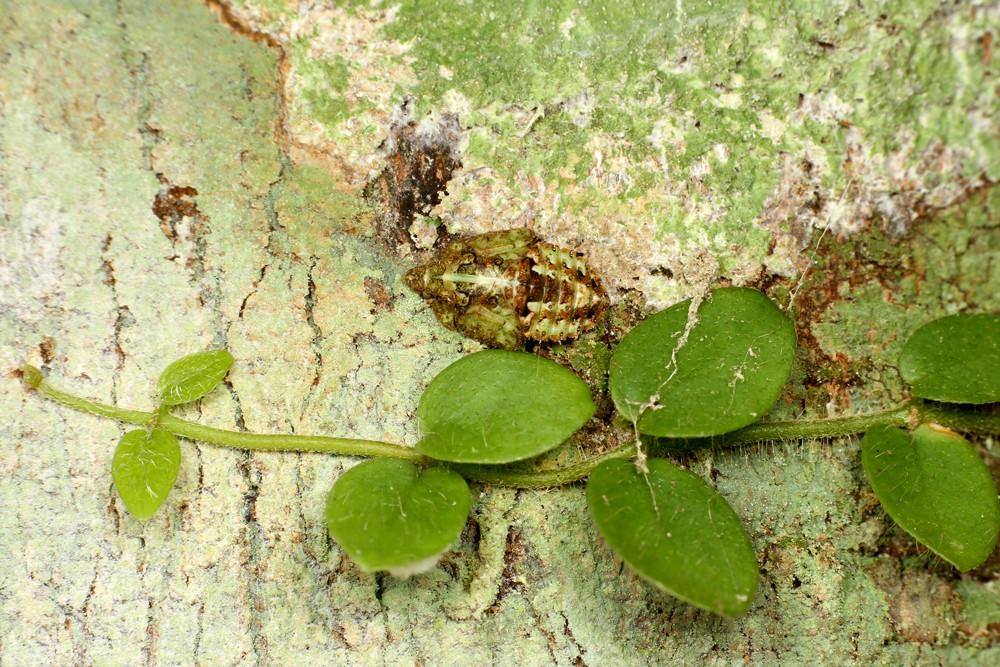 ウンカ 木の幹にいたウンカの幼虫。 南西諸島でアリの巣から見つかるウンカに似てい... ありんこ