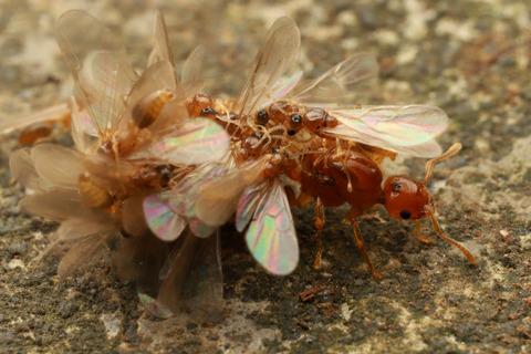 キイロシリアゲアリの結婚飛行