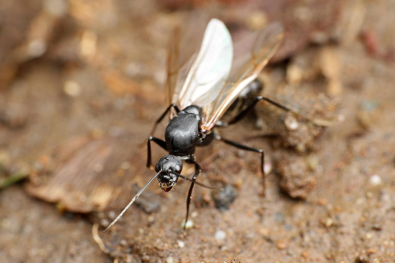 クロオオアリの画像 p1_37