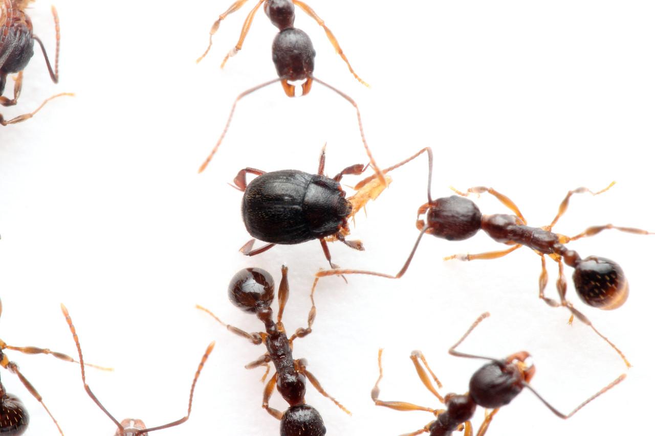 クロアリヅカエンマムシ 飼育をしたところ、アカアリヅカエンマムシと同じく、アリが巣に運びこんだ虫