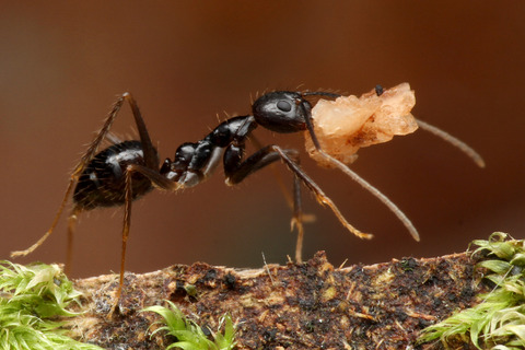 ムネクビレアリ Euprenolepis procera