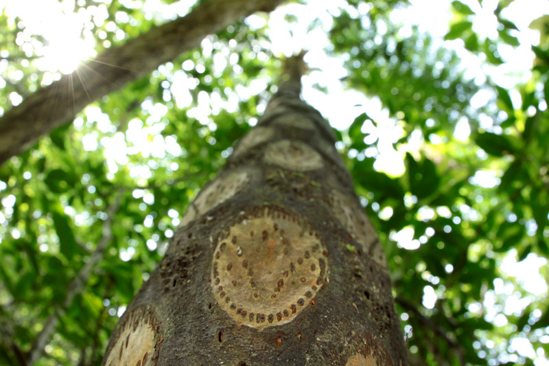 ヒカゲヘゴの画像 p1_7
