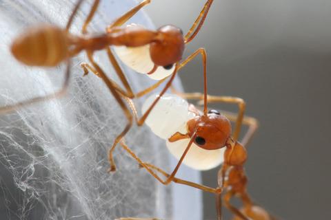 ツムギアリの巣作り