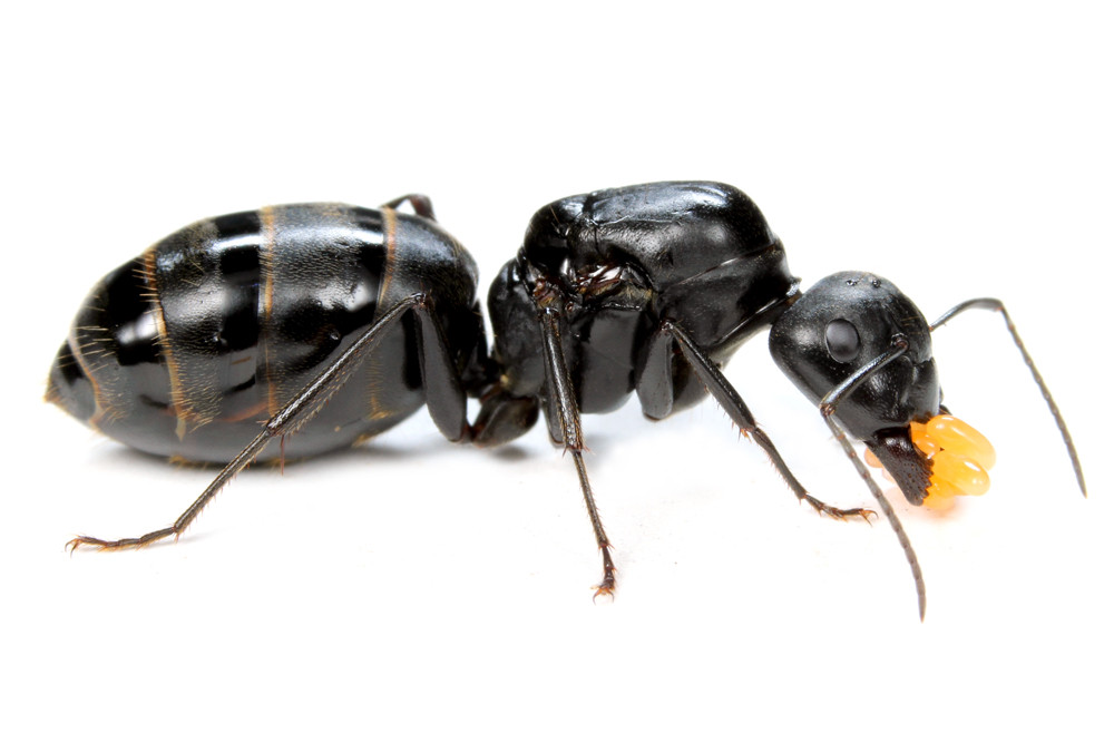 クロオオアリの画像 p1_33