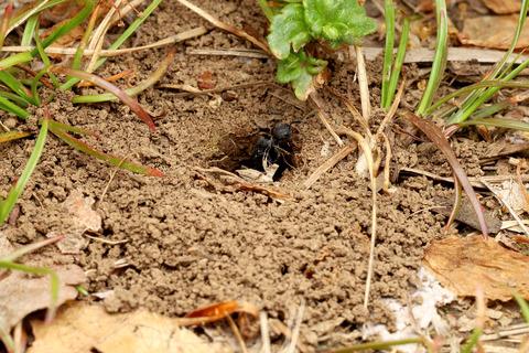 クロナガアリの巣作り