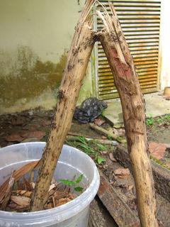 ツヤヒメサスライアリの採集