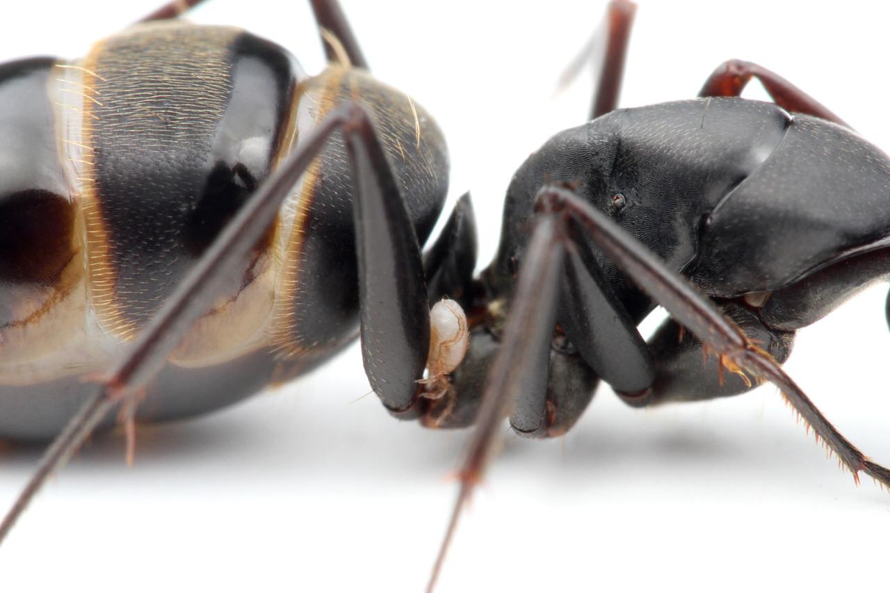 クロオオアリの画像 p1_39