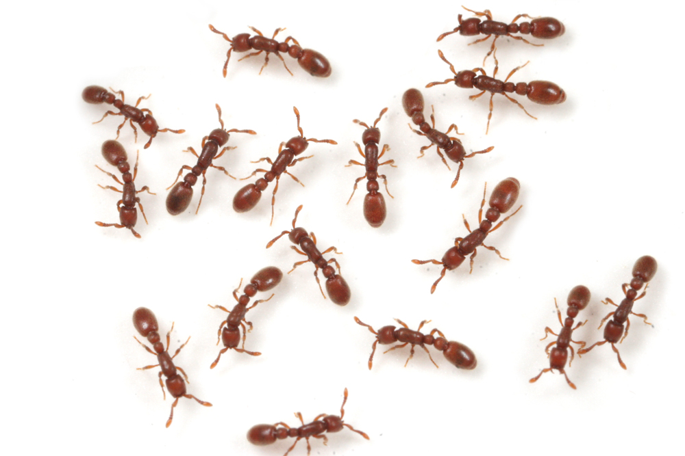 クビレハリアリ クビレハリアリはオスと交尾しないで、単為生殖で繁殖をする珍しいアリです... 自