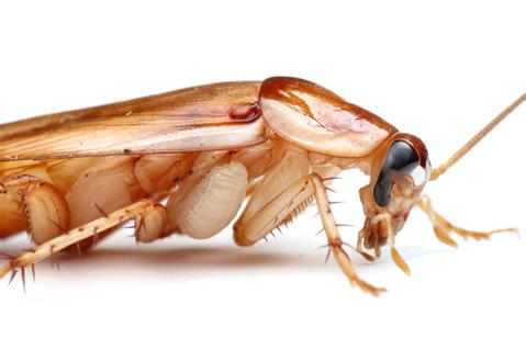 エメラルドゴキブリバチAmpulex compressa
