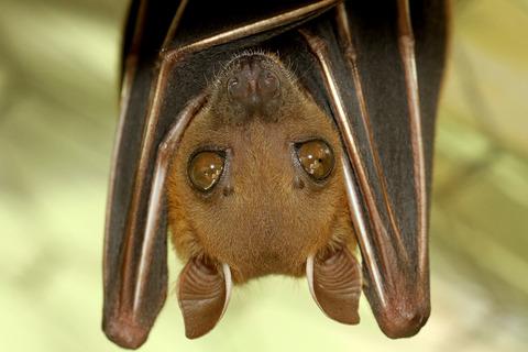 �����̥����ե롼�ĥ������ Cynopterus brachyotis