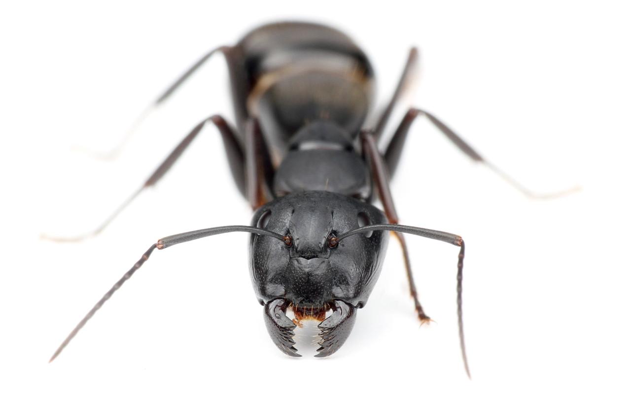 クロオオアリの画像 p1_40