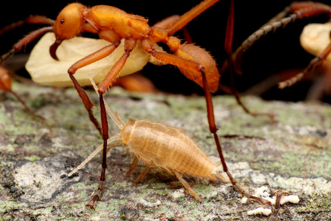 ハマタグンタイアリの好蟻性生物