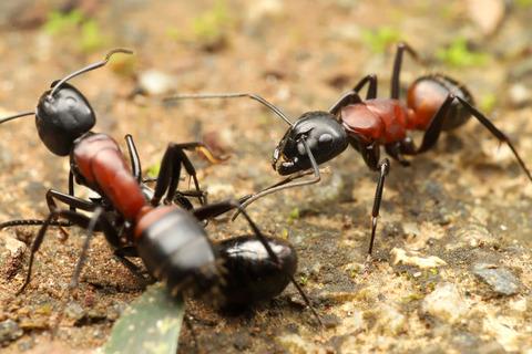 トゲアリの匂い付けと巣への侵入方法