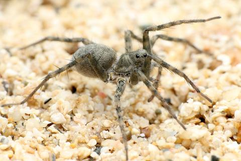 ���Х륳��ꥰ�� Pardosa jambaruensis
