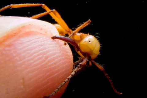 ハマタグンタイアリ Eciton hamatum