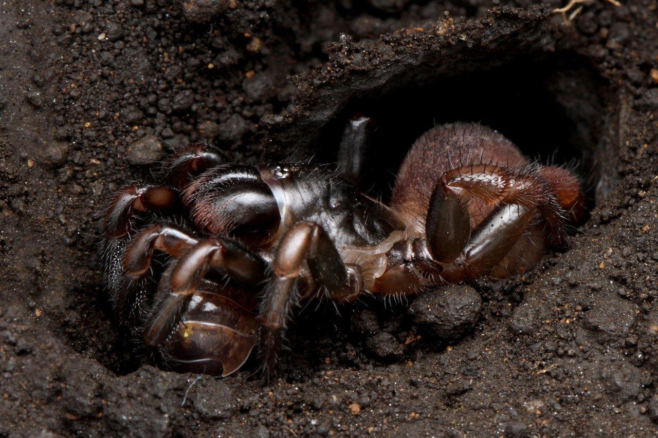 トタテグモに寄生するクモタケ : ありんこ日記 AntRoom