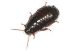 クチキゴキブリ