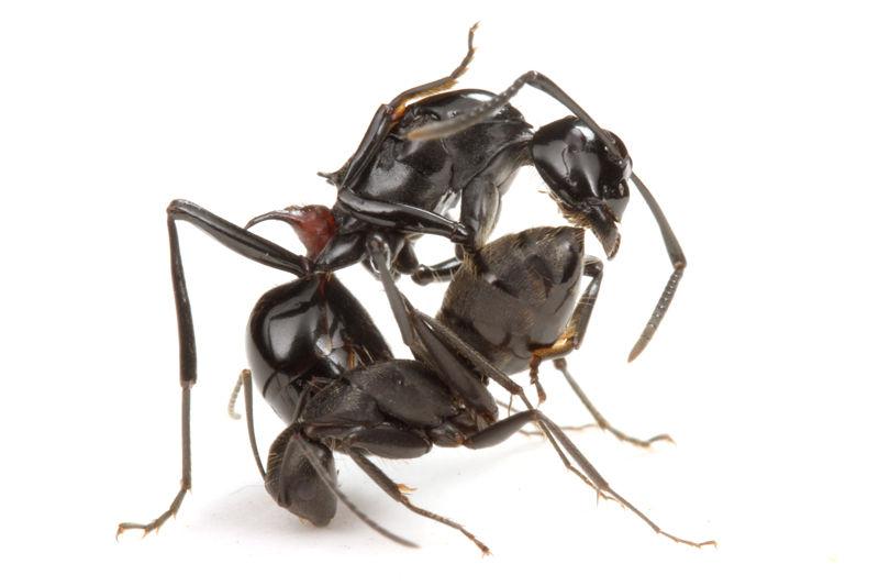 クロオオアリの画像 p1_8