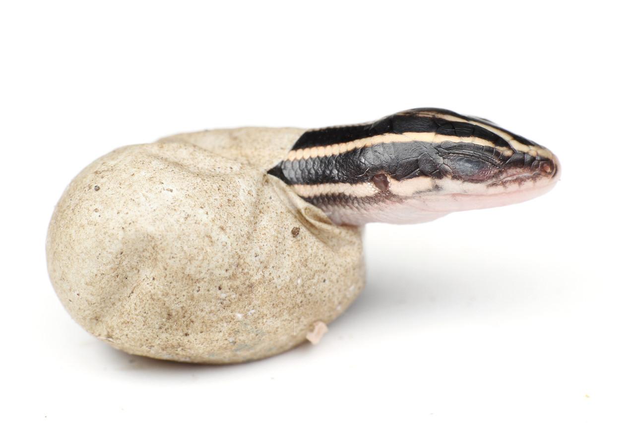 ニホントカゲの画像 p1_14