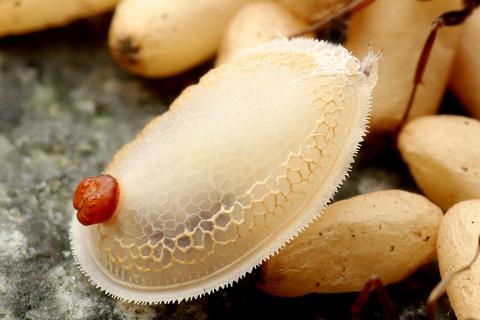 ヤマクロヤマアリの巣で暮らすアリスアブ
