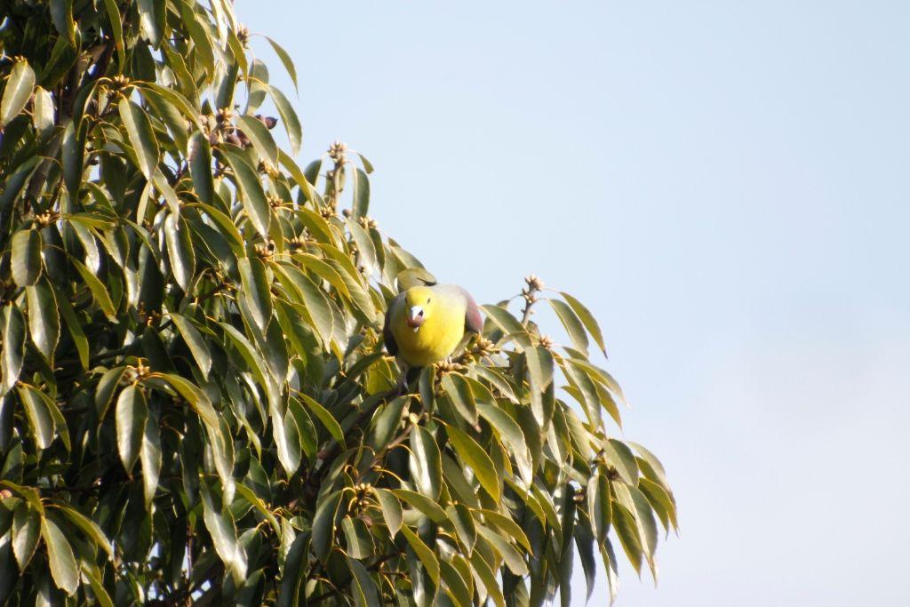 21回目樹上採餌♂2 (2)