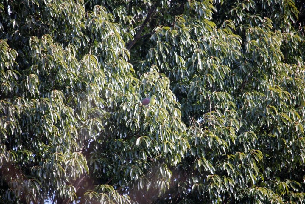 樹冠見え♂ドングリ食い 昼