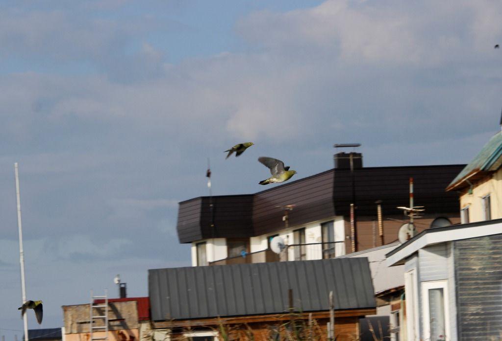 海岸沿いの住宅横を抜けるアオバト