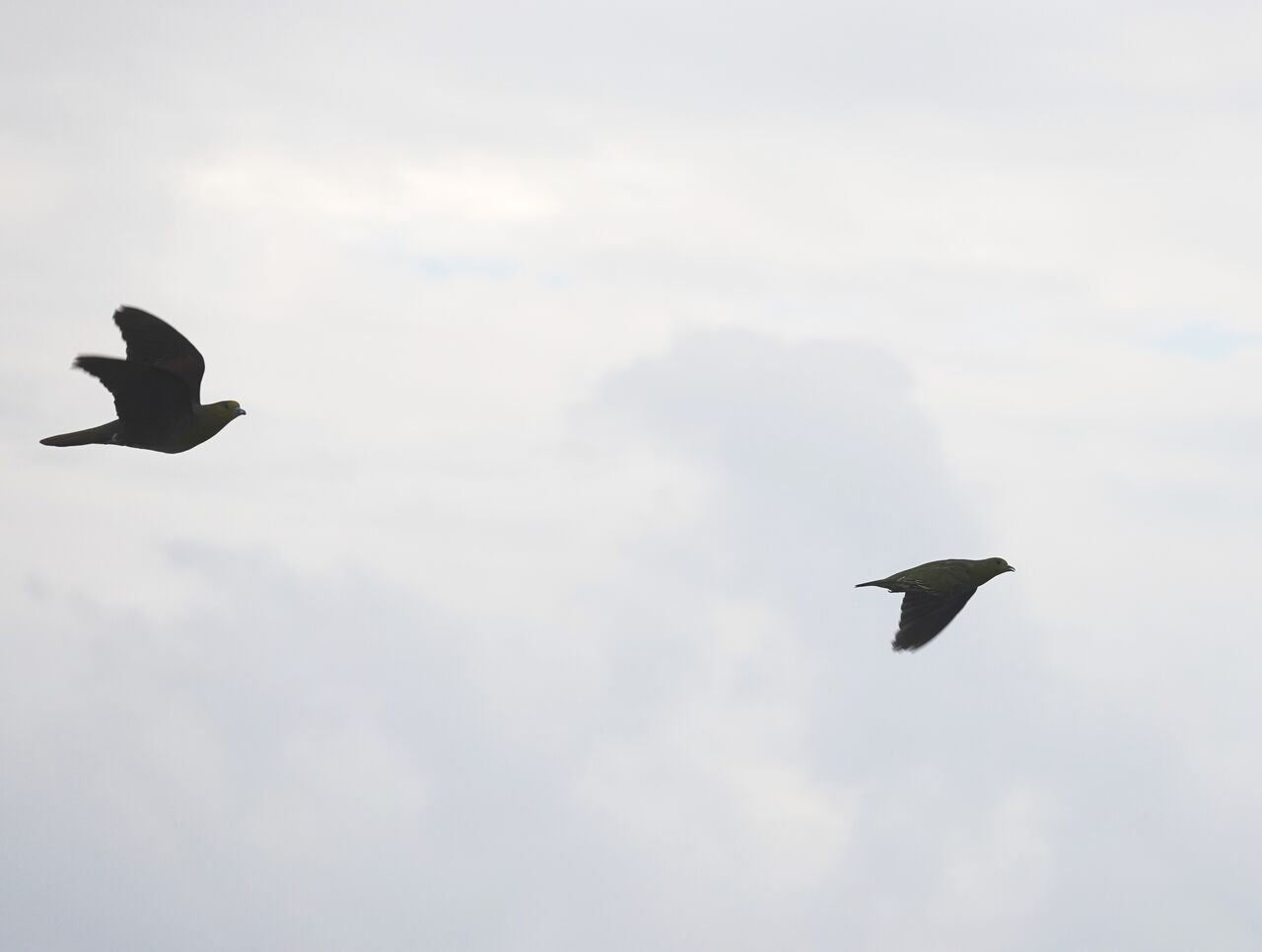 9.20用宗 近くに飛ぶアオバト