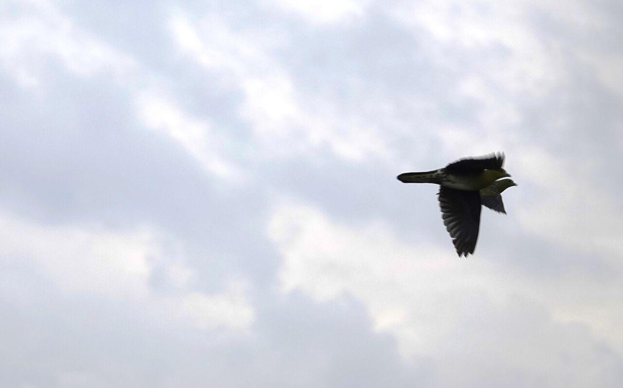 9.20用宗 近くを飛ぶアオバト2