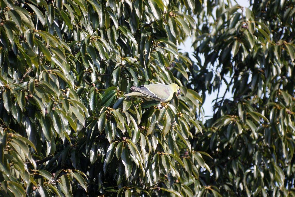 22回目樹上採餌若♂(2)