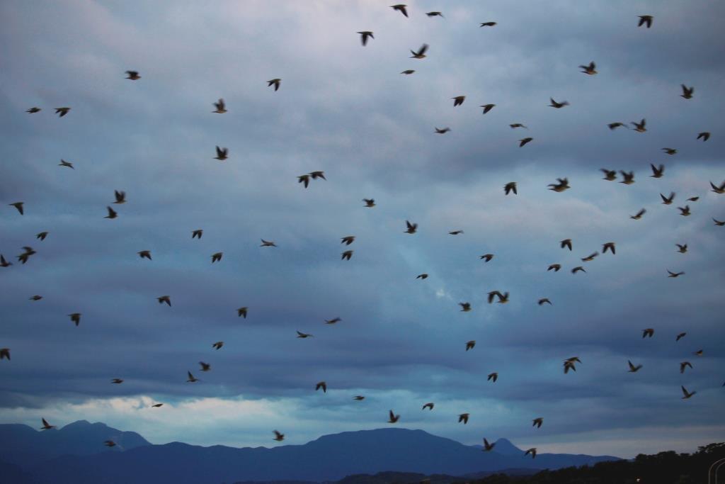 24 300羽の群れ