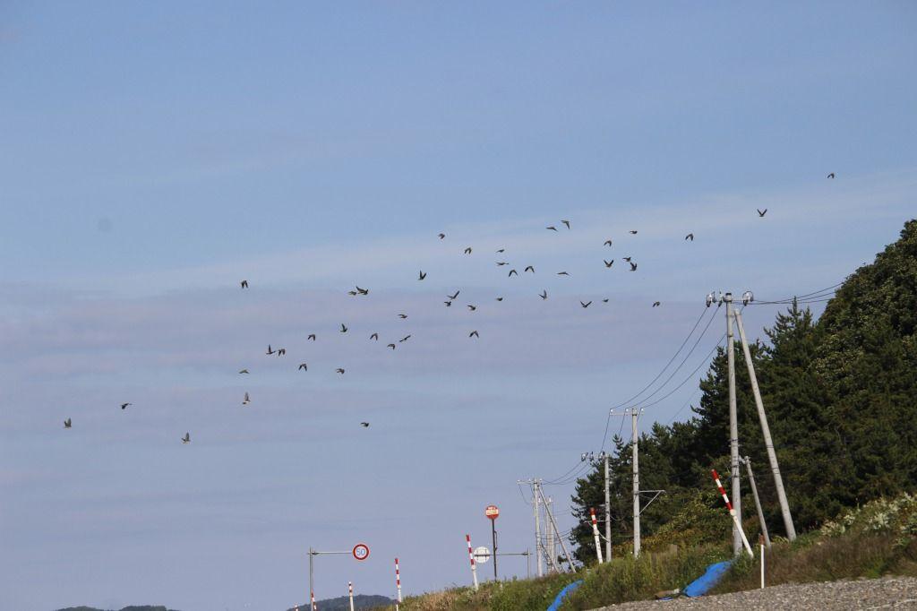 アサリ浜に飛来したアオバト群れ