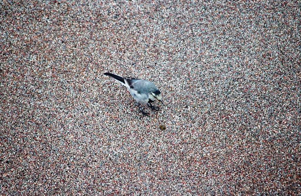 20フナムシ食べるハクセキレイ若鳥