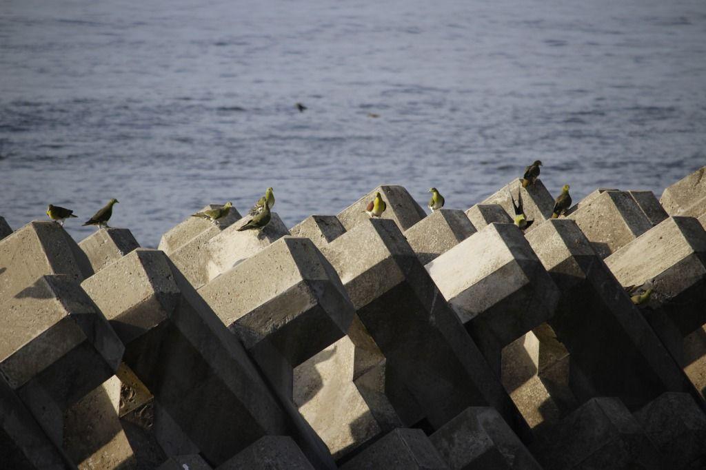 海岸前のテトラポットに止まるアオバト