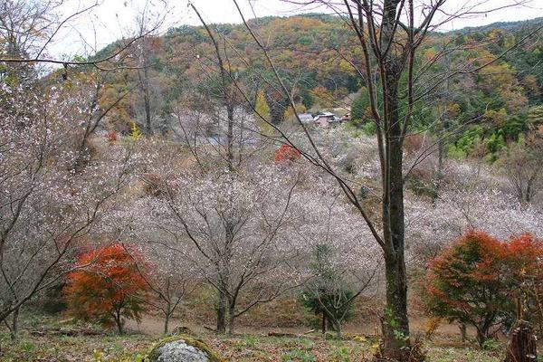 067桜と紅葉の林