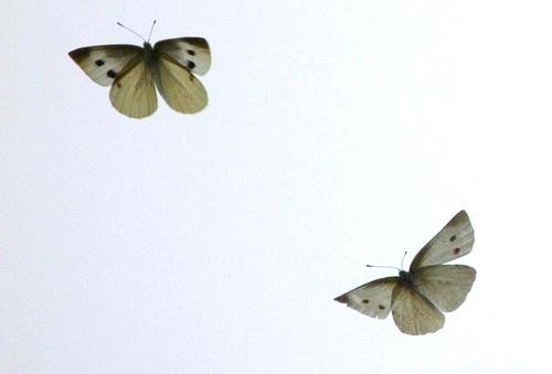 モンシロチョウの画像 p1_30