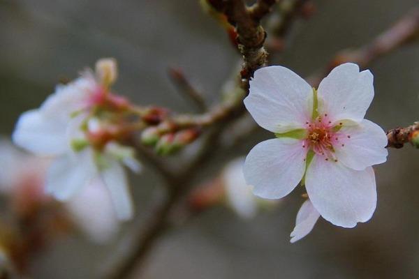 010四季桜
