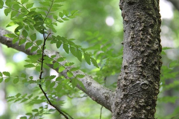 041山椒の木
