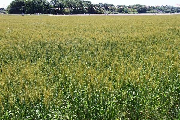040ムギ畑