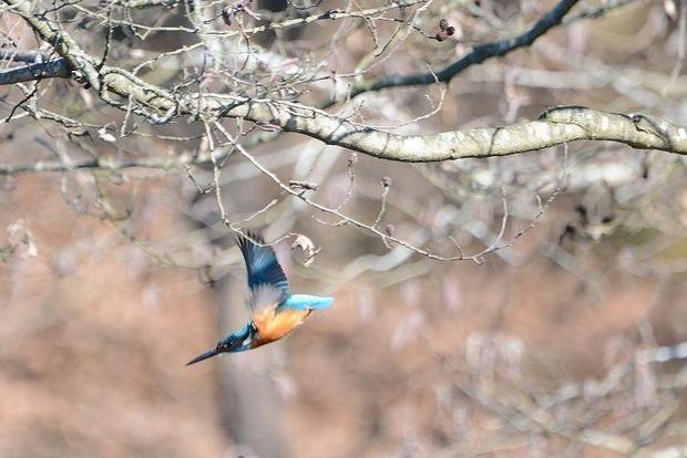 カワセミ飛ぶ