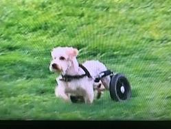ハンデイキャップ犬