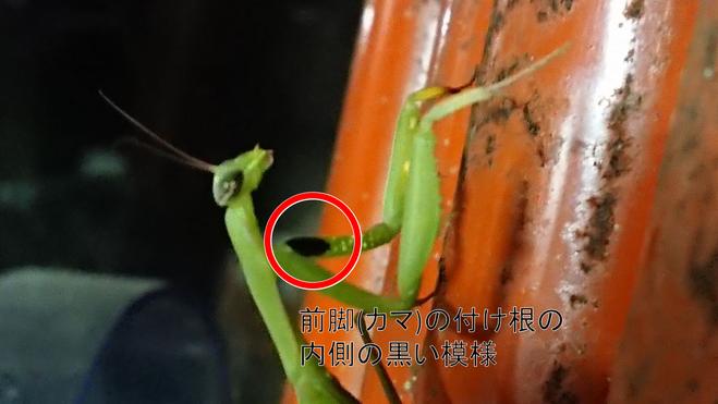Mantis religiosa04