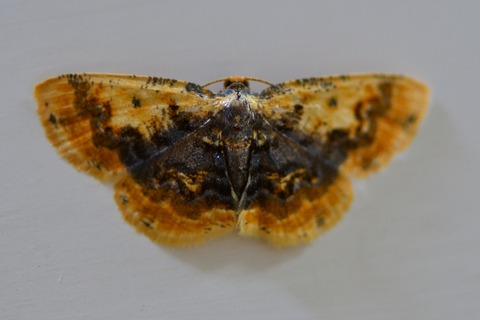 ウチムラサキヒメエダシャク