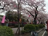 桜咲く小田原城