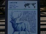 20057 Cervus nippon 01