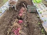 (2) 紅はるかの収穫