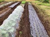(1) 玉葱の畝つくり
